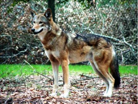 red wolf living at the Tallahasse musuem zoo in Tallahasse Florida