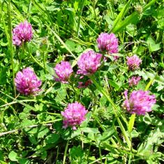 Though some in Florida consider clover a weed, butterflies are attracted to it's nectar
