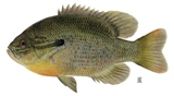 redbreast sunfish are found in the Suwannee, Sante Fe and Oklawaha rivers in Florida
