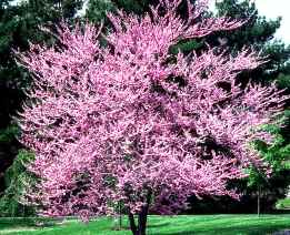 Redbud tree, a fragrant Florida tree