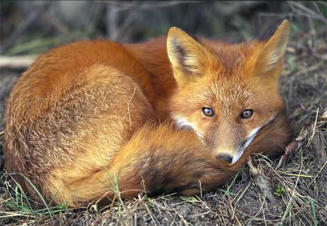 The red fox found through the state of Florida but mainly in the panhandle