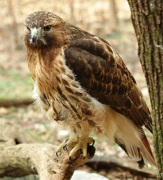 Florida red tailed hawk