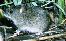 silver rice rat found in the florida keys and currently an endangered species