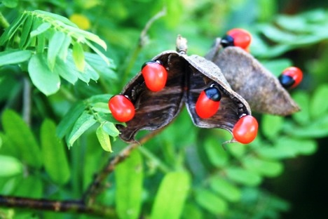 Rosary Pea