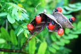 rosary pea, a poisoinous plant found in Florida