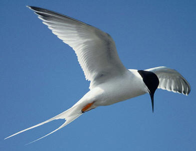 Roseate tern, a threatened bird in the state of Florida