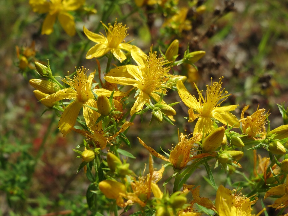 yellow-flowered roundpod St. Johns wort found near Florida swamplands