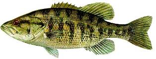 Suwannee Bass found in the river systems of Florida and Georgia and a fish of special concern in the state of Florida