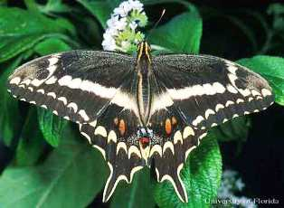 Schaus' swallowtail butterfly a rare and endangered butterfly in the state of Florida