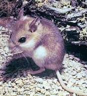 sioutheastern beach mouse, an endangered mouse in the state of Florida