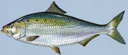 american shad a migrating fish in Florida waters