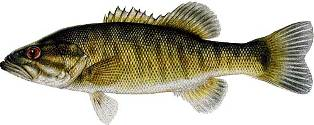 shoal bass found in Florida, Georgia, and Alabama and is a fish of special concern in the state of Florida