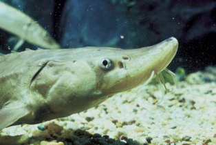 shortnose sturgeon endangered fish in Florida