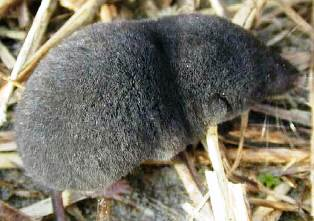 Homosassa shrew, an endangered shrew in the state of Florida