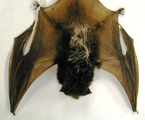 The silvered-haired bat is a medium-size bat. It's dark brown-black hairs are tipped with silver giving it an icy appearance.