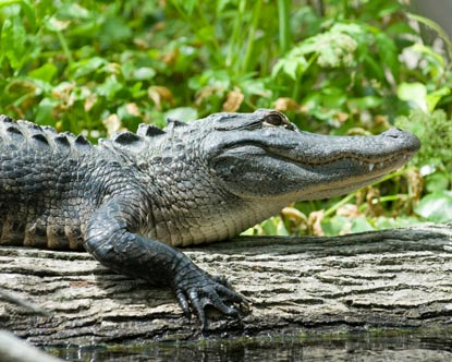 alligator sunning at Silver Springs Florida