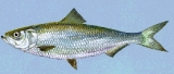 The skipjack herring  can be found in freshwater areas over sand or gravel.