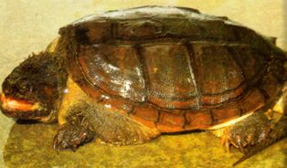 common Florida snapping turtle