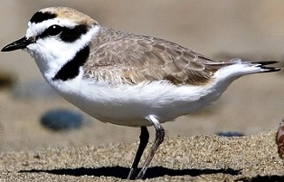 snowy plover bird found on Florida coastlines