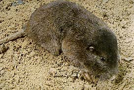 -Pocket gophers are beautifully adapted for life underground.