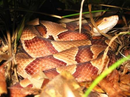 coiled southern copperhead viper snake found in North Florida