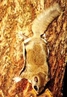 The southern flying squirrel is found in wooded areas statewide except the Keys