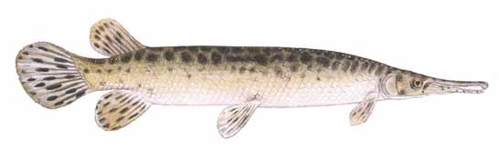 Spotted gar occur west of the Ochlockonee River in the panhandle of Florida, east of the Apalachicola drainage