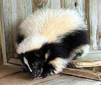 The Florida striped skunk, a native Florida carnivore mammal