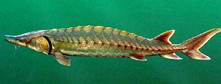 Gulg Sturgeon found in Florida and listed as aspecies of special concern