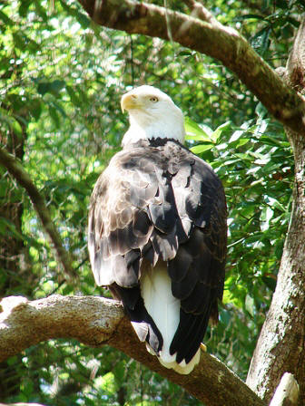 American Bald eagle seen at the Tallahassee museum in Tallahassee Florida
