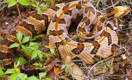 the timber rattlesnake or canesnake found in parts of Florida