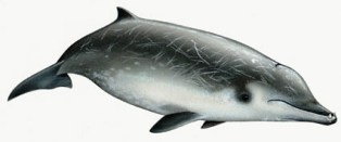 True's beaked whale is found in the North Atlantic from Nova Scotia and Ireland south to Florida.