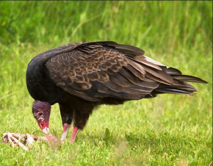 Florida turkey vulture