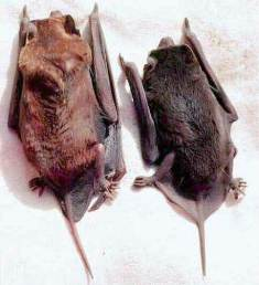 The velvety free-tailed bat was first discovered in the Florida Keys in 1994.  It is believed this species arrived in Florida from Cuba as a result of natural causes.