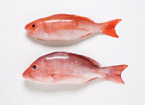 vermillion snapper found off the coast of Florida