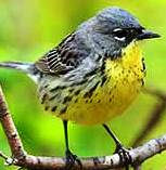 Bachmans warbler and endangered bird in the state of Florida