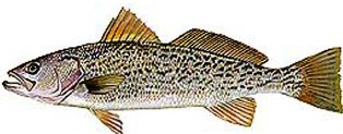 weakfish, a saltwater fish found in Florida waters