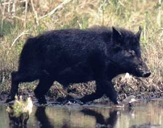wild Florida hog rooting near a river