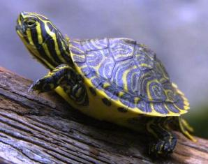 yellow bellied turtle