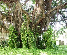 Florida Strangler Fig